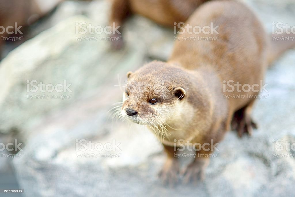 Cute otter closeup. Selective focus on the head. stock photo