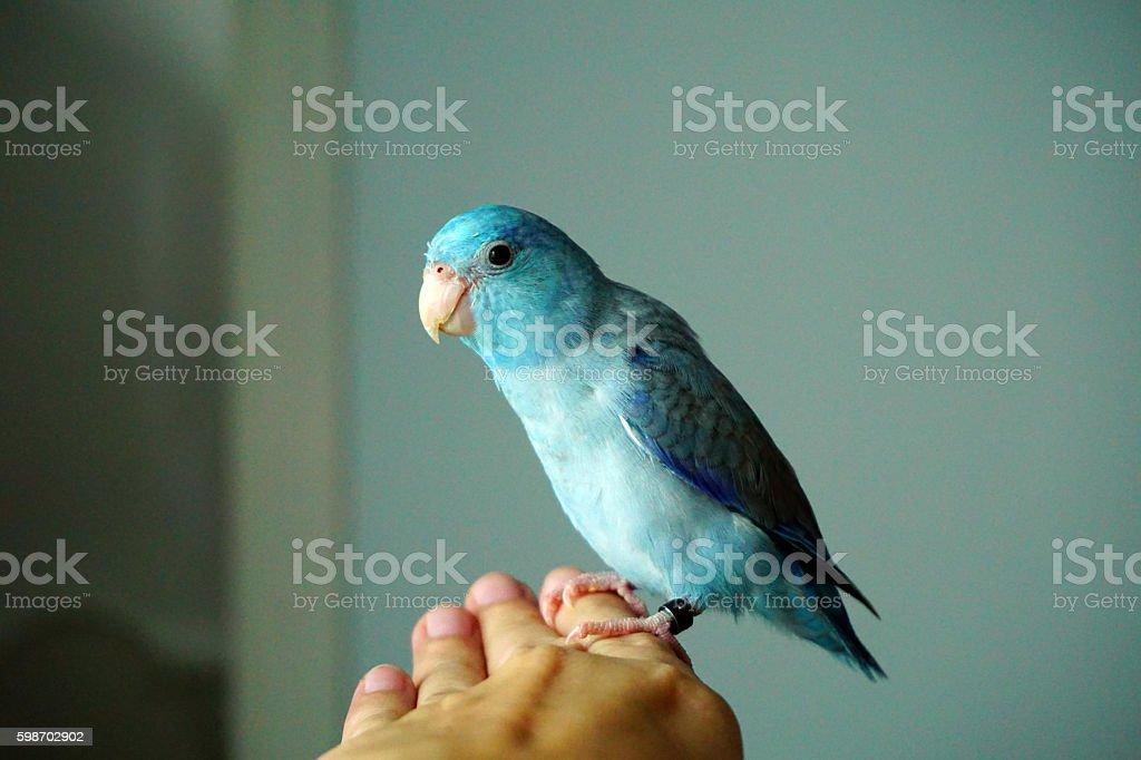 Cute Pacific Parrotlet bristle, Forpus coelestis stock photo