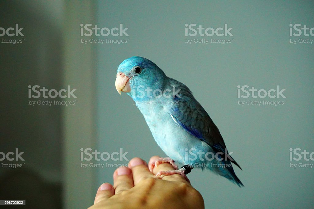 Cute Pacific Parrotlet bristle, Forpus coelestis stock photo