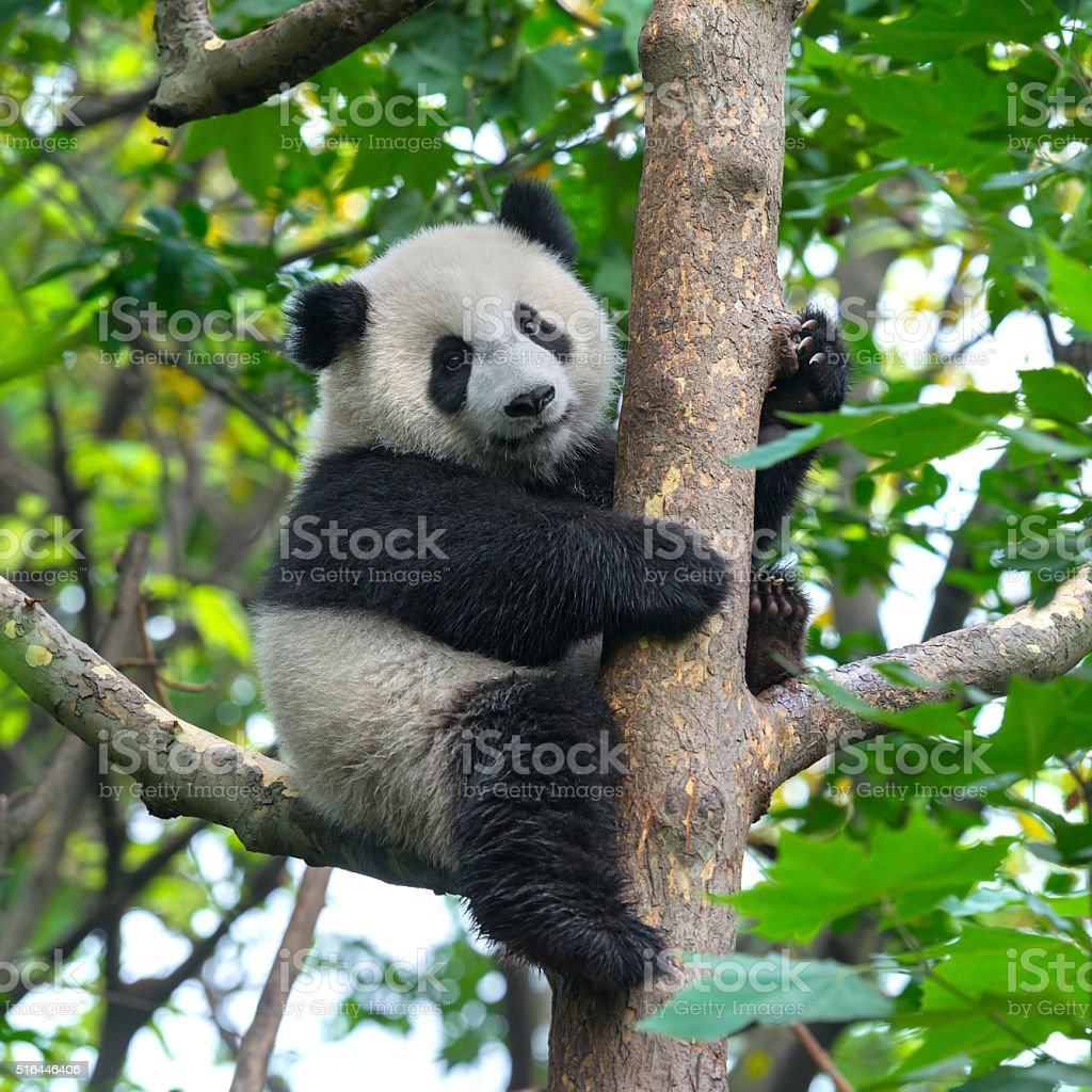 Cute panda bear climbing in tree stock photo
