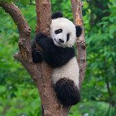 Cute panda bear climbing in tree