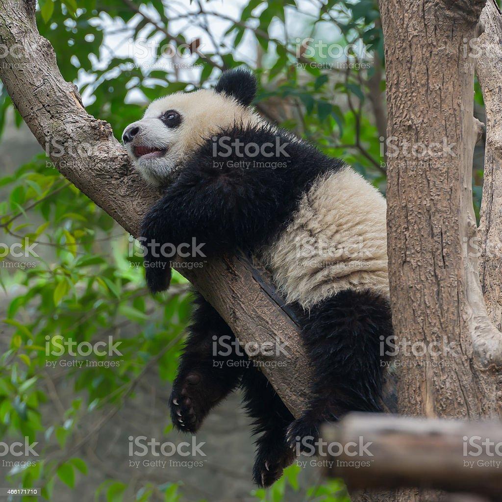 Cute panda bear climbing tree stock photo