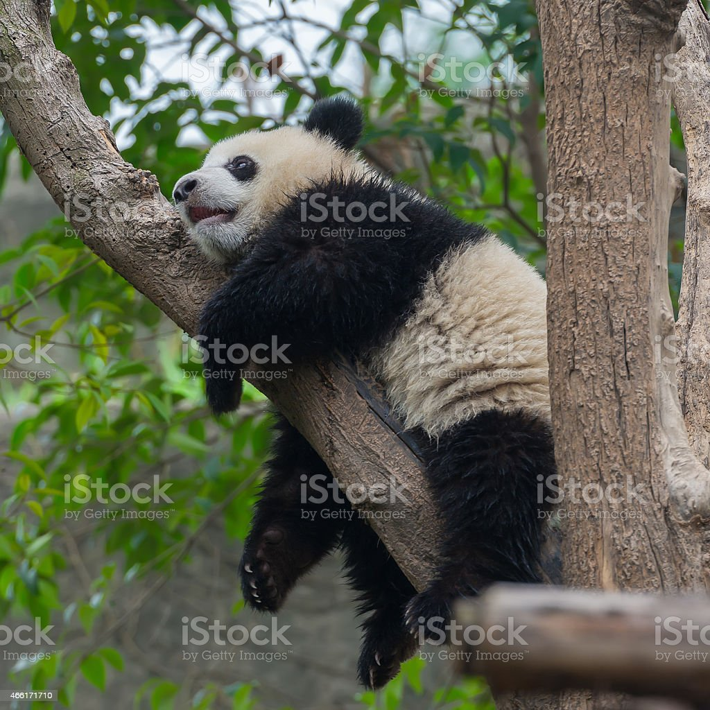 Cute panda bear climbing tree stock photo