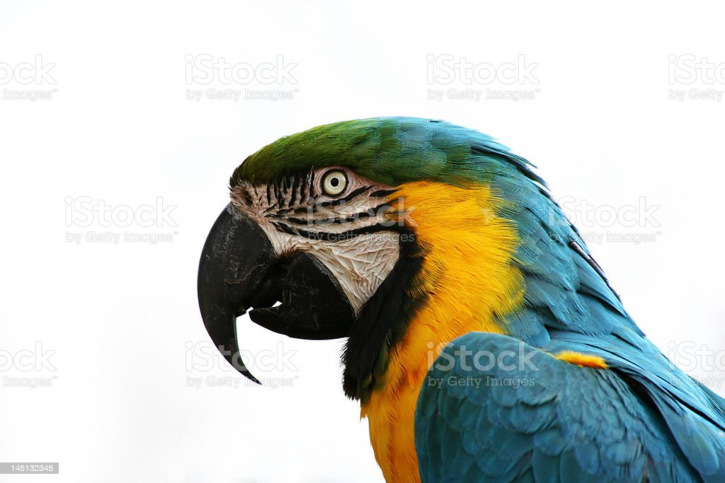 ARA cute parrot side 1 royalty-free stock photo