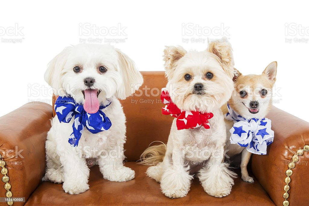 Cute Patriotic Dogs royalty-free stock photo