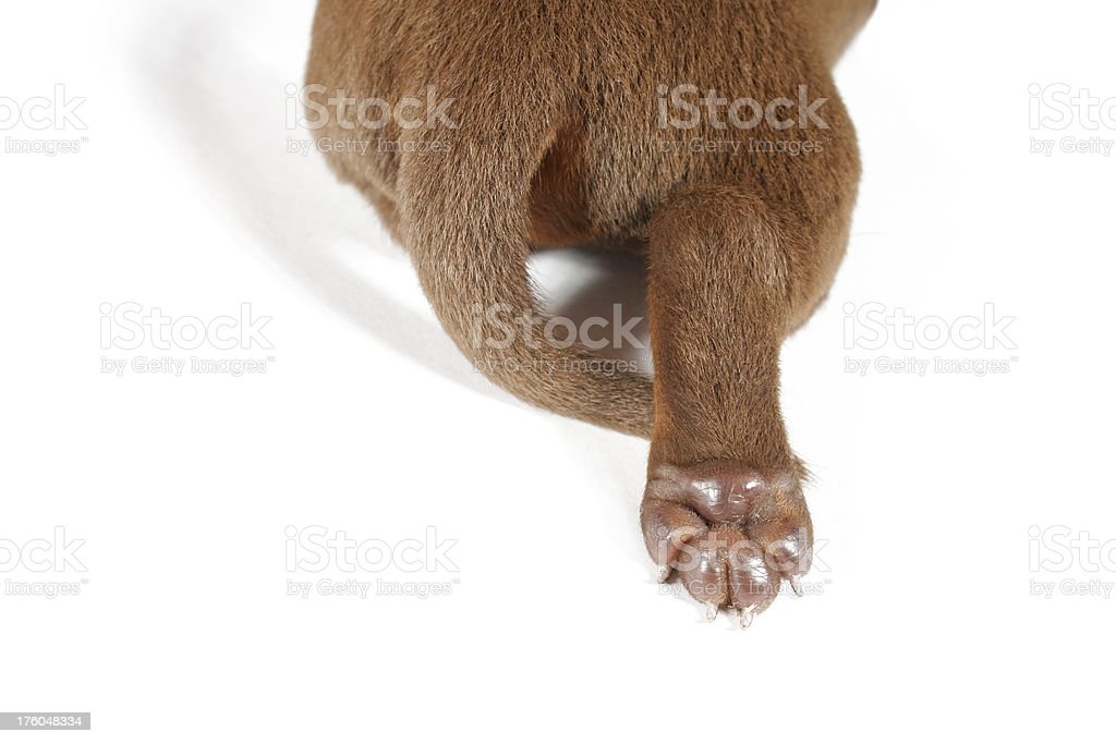 Cute paw of dachshund puppy royalty-free stock photo