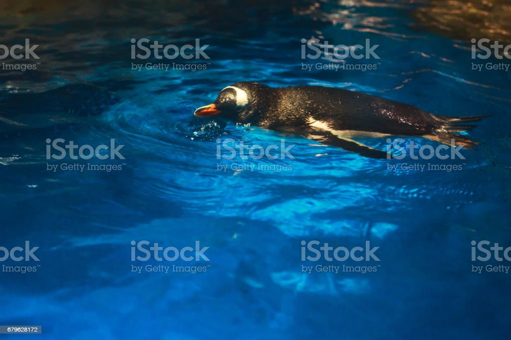 Cute penguin swims in blue water with a big splash stock photo