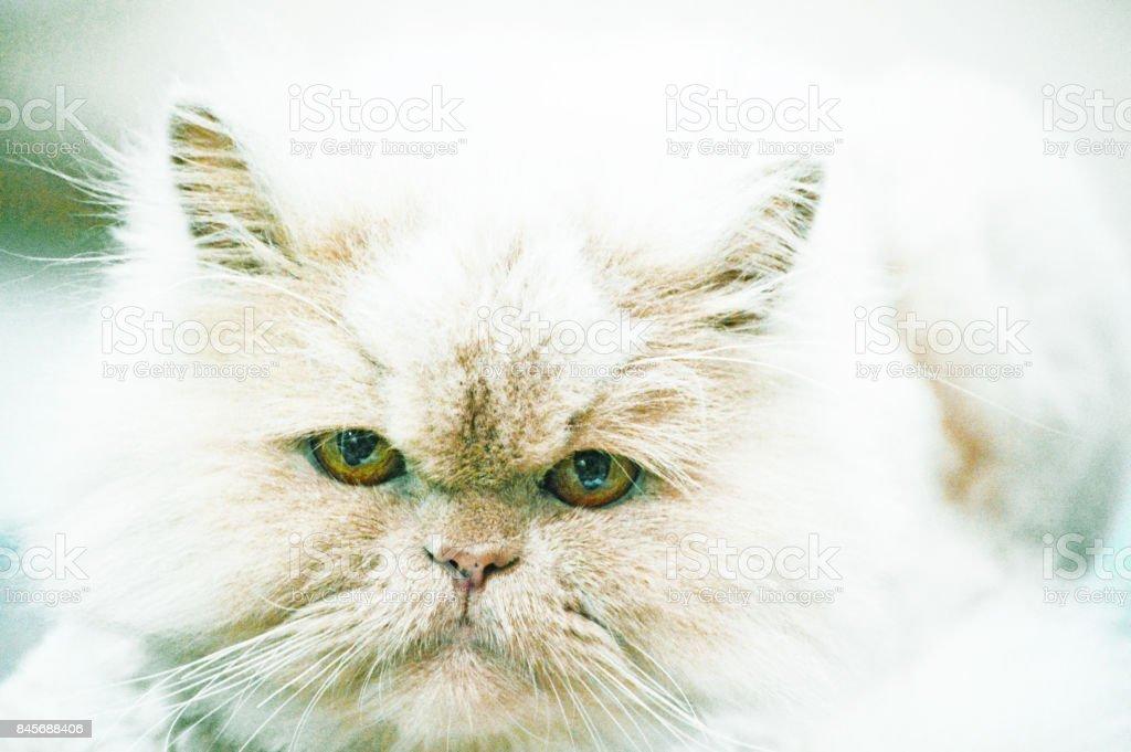 Cute Persian cat looking at camera, a close-up photo stock photo