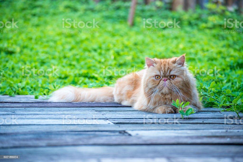 Cute persian cat stock photo