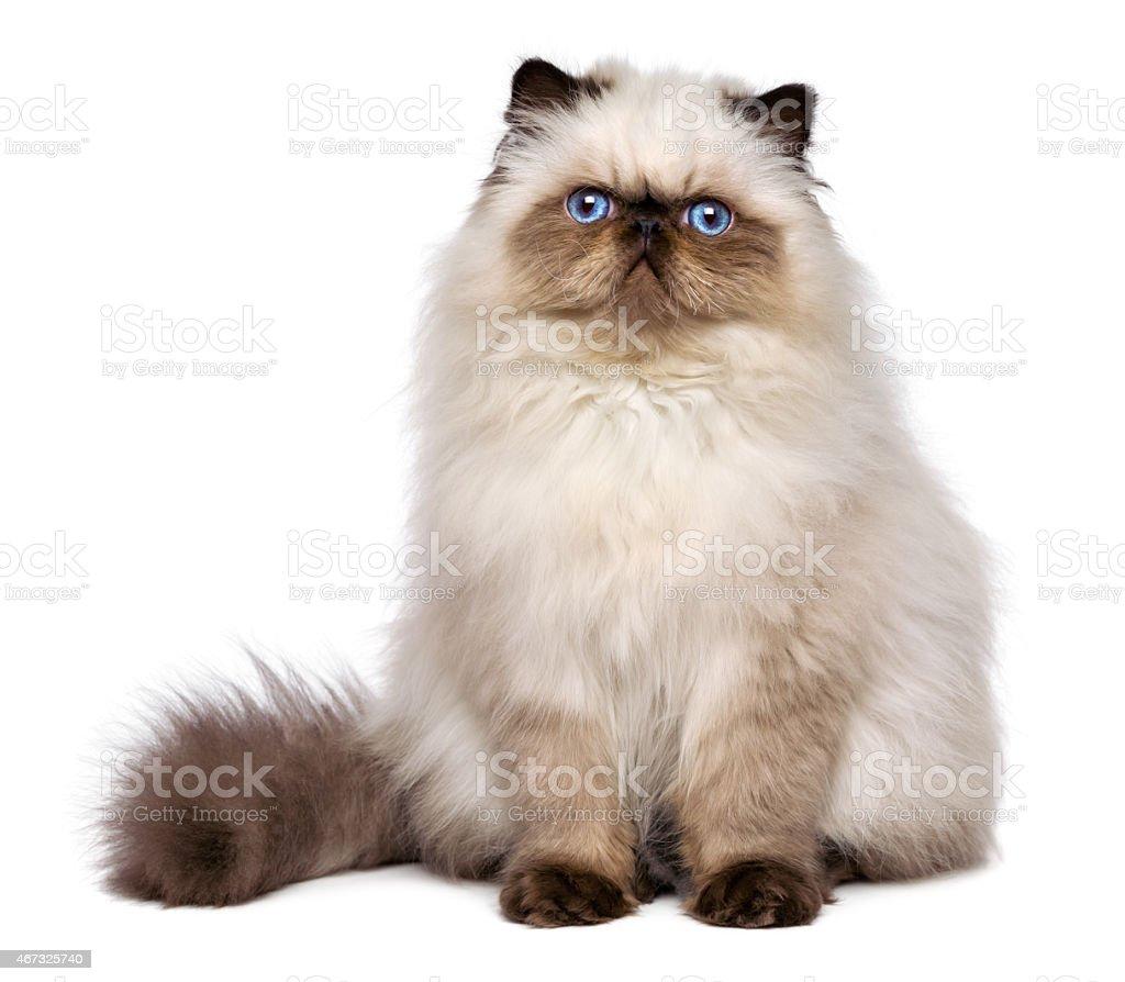 Cute persian seal colourpoint kitten is sitting frontal stock photo