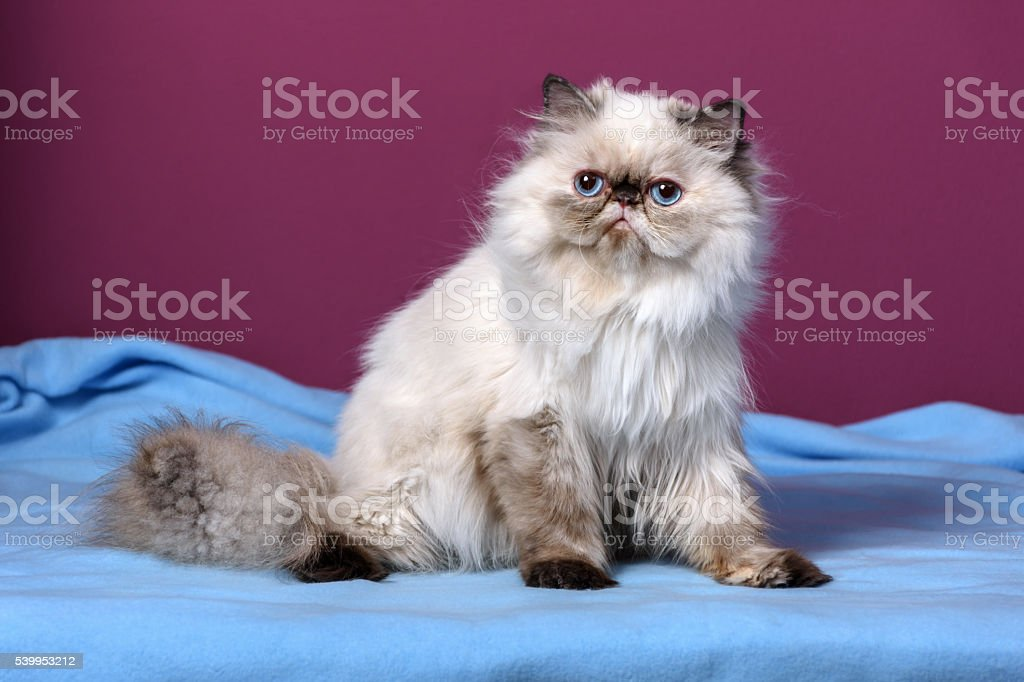 Cute persian tortie colorpoint kitten sitting on a blue bedspread stock photo