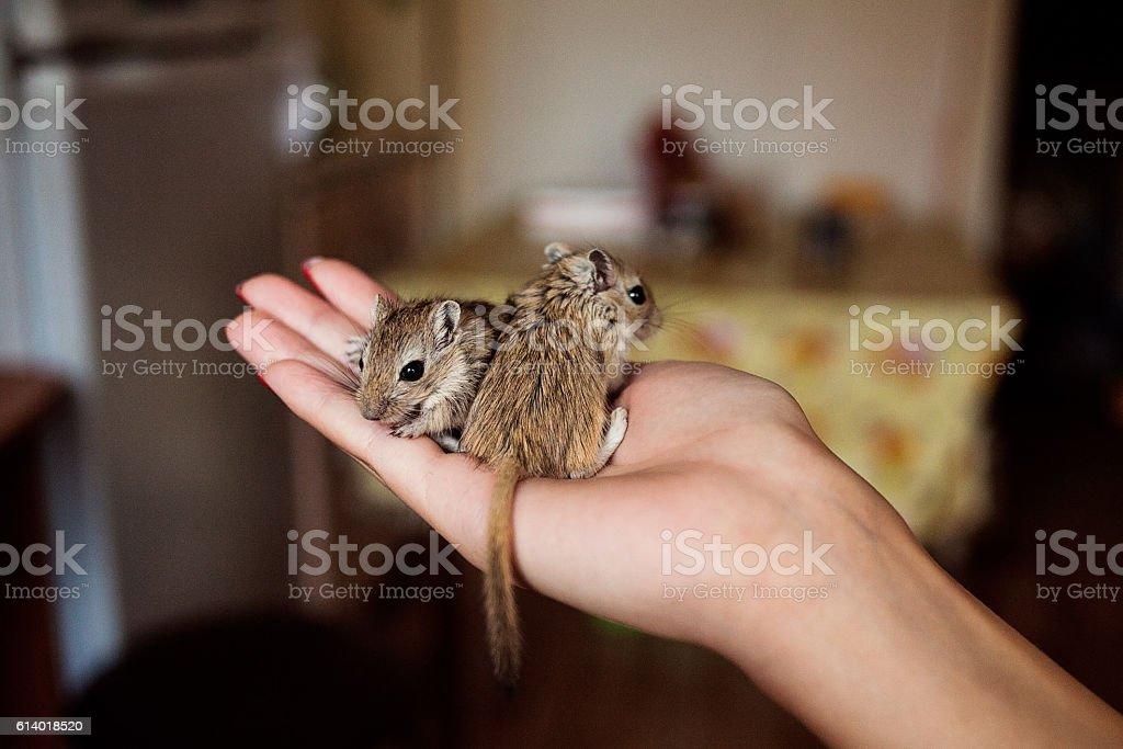 Cute pet gerbil in human hand stock photo