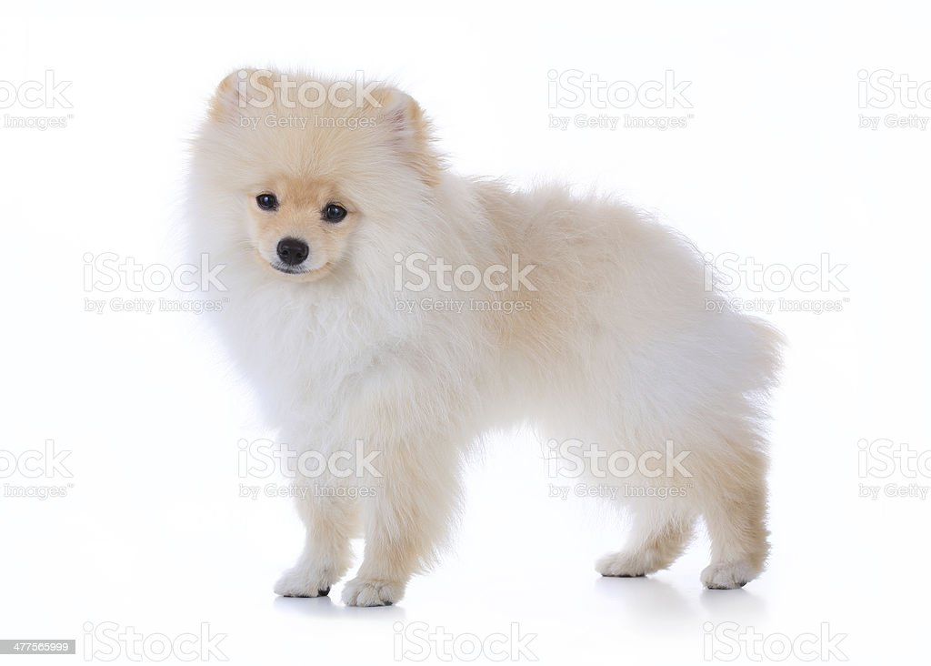 cute pet, pomeranian grooming dog isolated on white background royalty-free stock photo