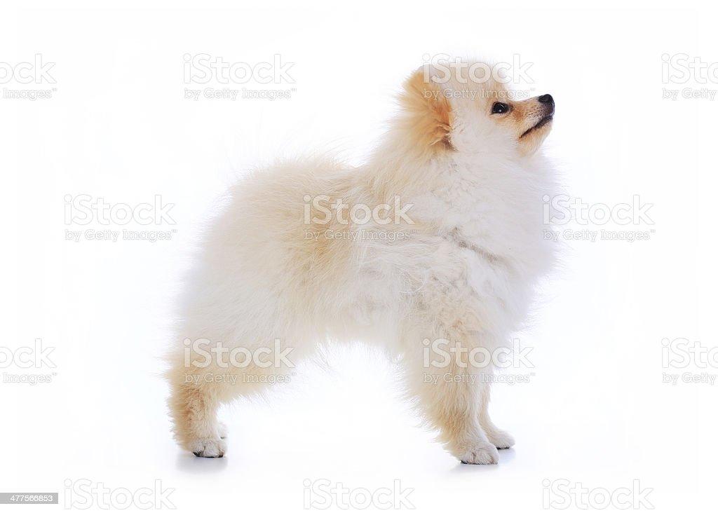 cute pet talent award, pomeranian dog stand on white background royalty-free stock photo