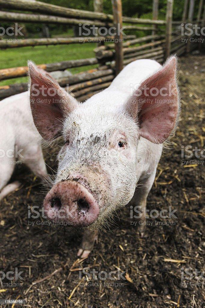 Cute pig royalty-free stock photo