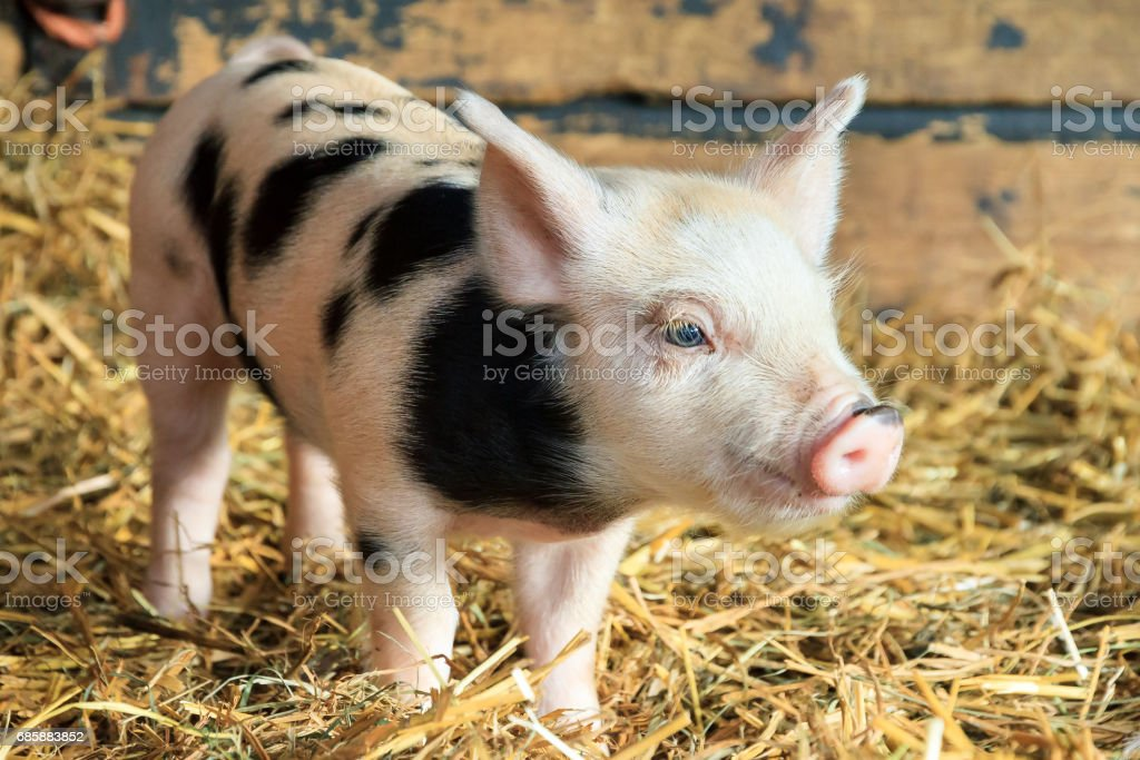 Cute piggy stock photo