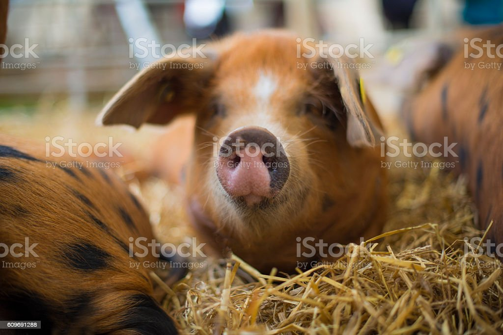 cute piglet in barn stock photo