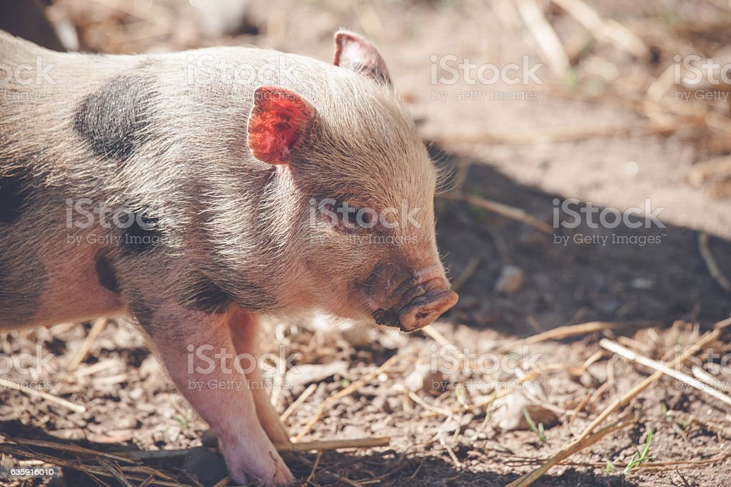 Cute piglet in rural environment stock photo