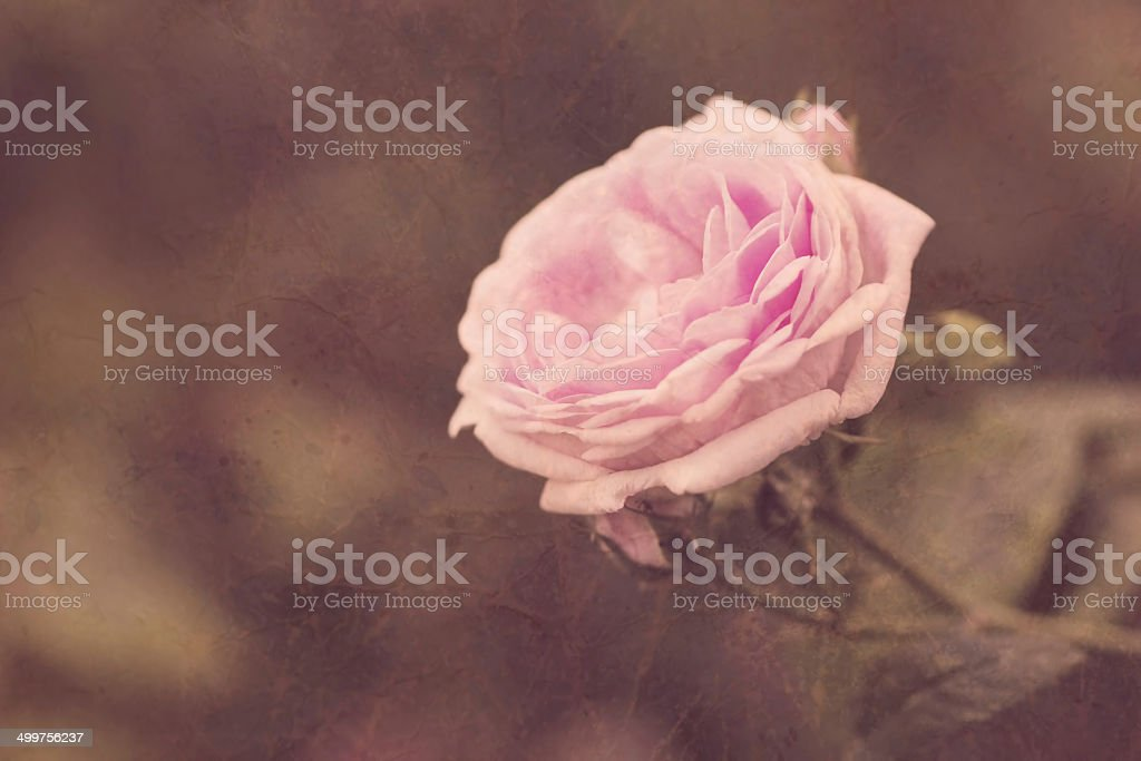 cute pink rose in vintage style close up royalty-free stock photo