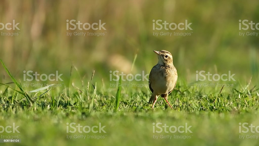 Cute Pipet bird on ground in the park stock photo