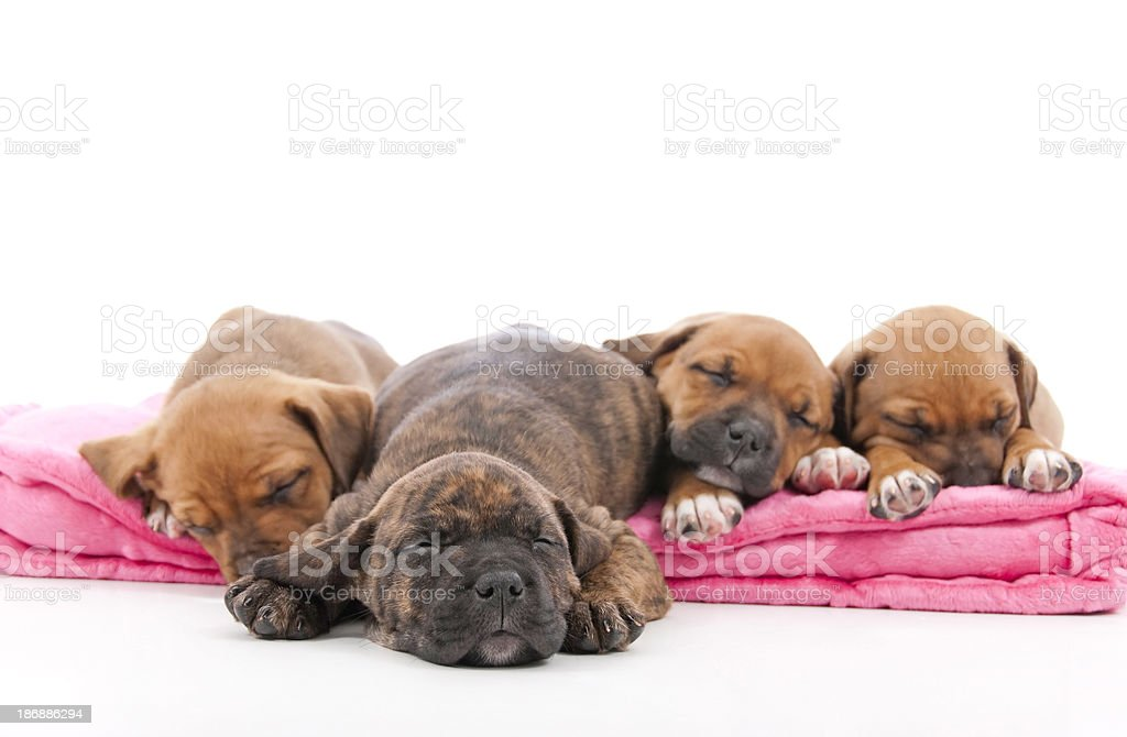 Cute Pitbull Cross Puppies On A White Background royalty-free stock photo