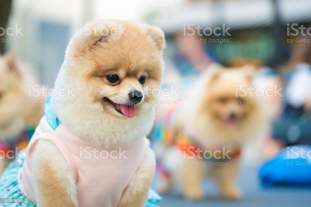 Cute pomeranian dog in fashionable clothes stock photo