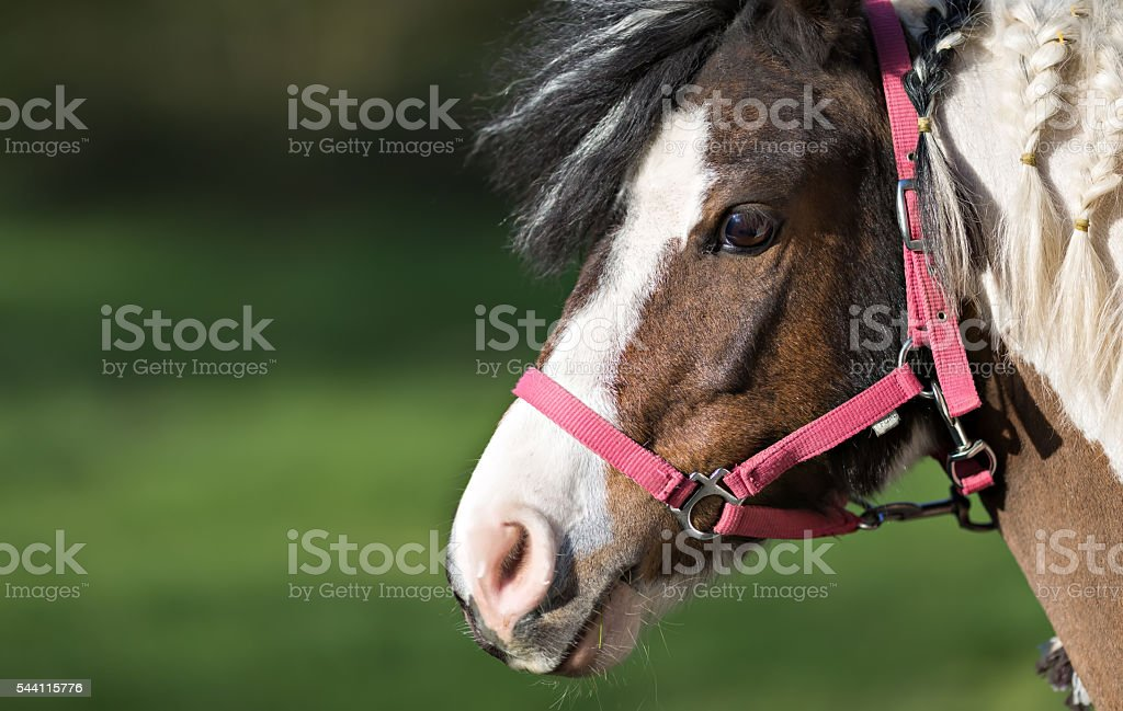 cute pony in red halter stock photo