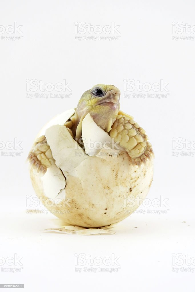 Cute portrait of baby tortoise hatching (Africa spurred tortoise) stock photo