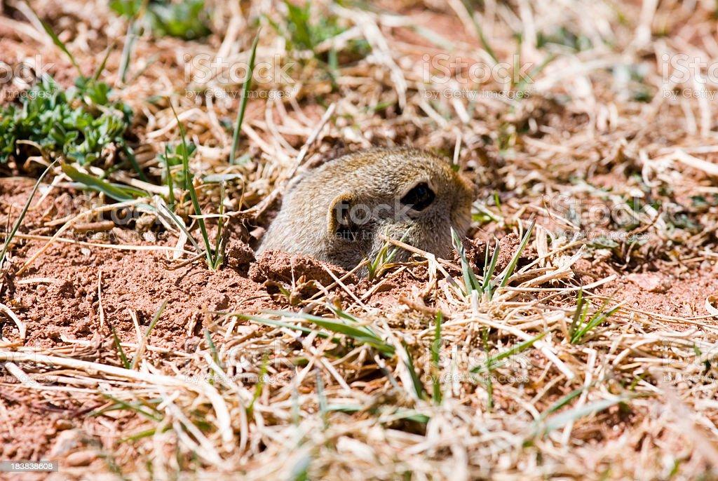 Cute Prairie Dog stock photo