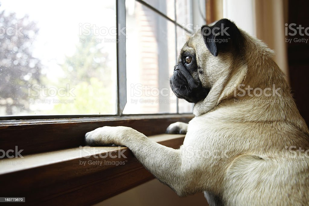 Cute Pug Dog Looks out Window with Paws on Windowsill stock photo