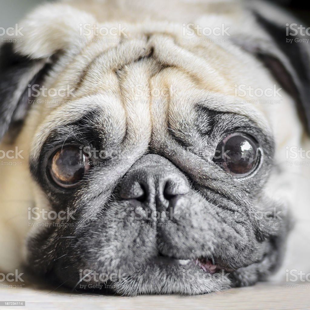 Cute pug dog with funny face stock photo