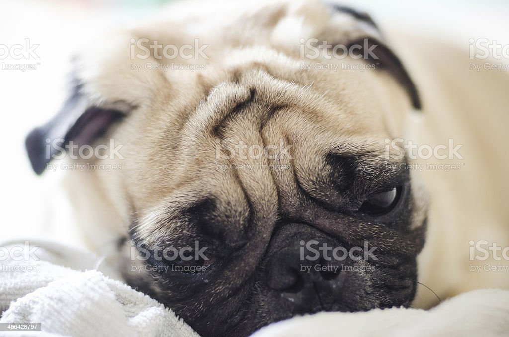 Cute pug dog with funny face royalty-free stock photo
