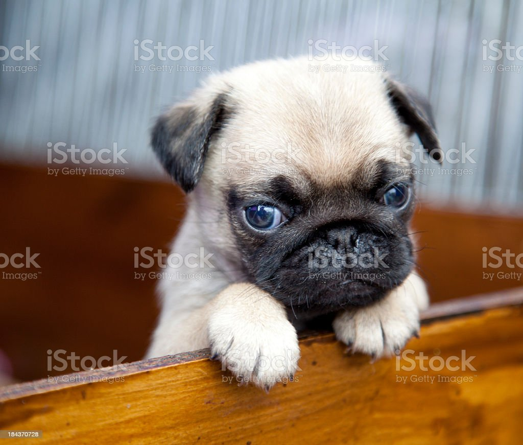 Cute pug puppy peeps over a wooden barrier with paws raised stock photo