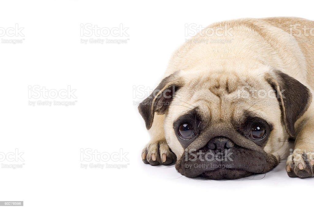 cute pug with sad eyes stock photo