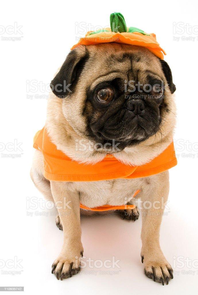 Cute Pumpkin Pug stock photo