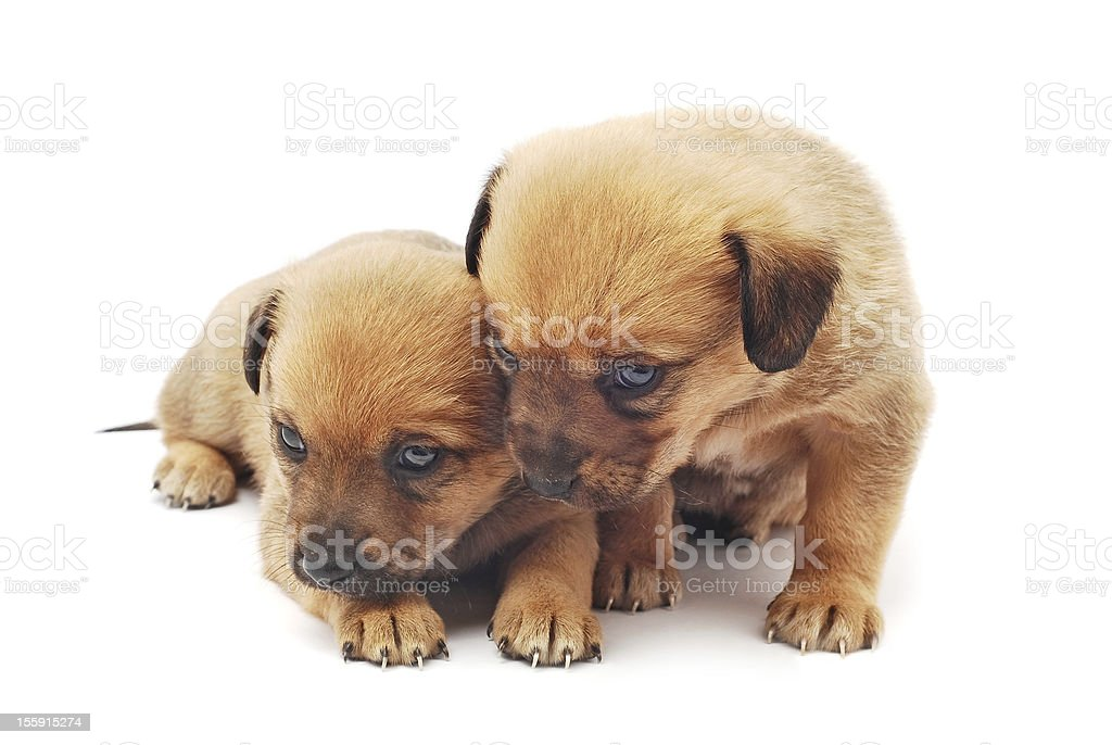 cute puppies royalty-free stock photo
