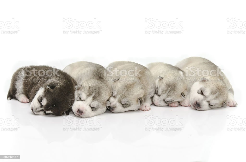 Cute puppies sleeping stock photo