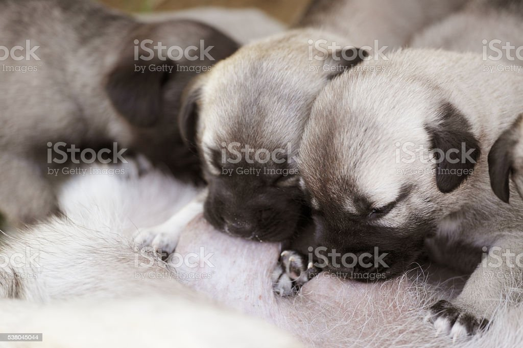 Cute puppies suckling their mother stock photo