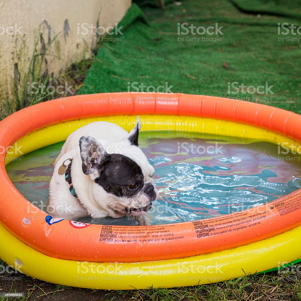Cute puppy dog having a bath in a swimming pool stock photo