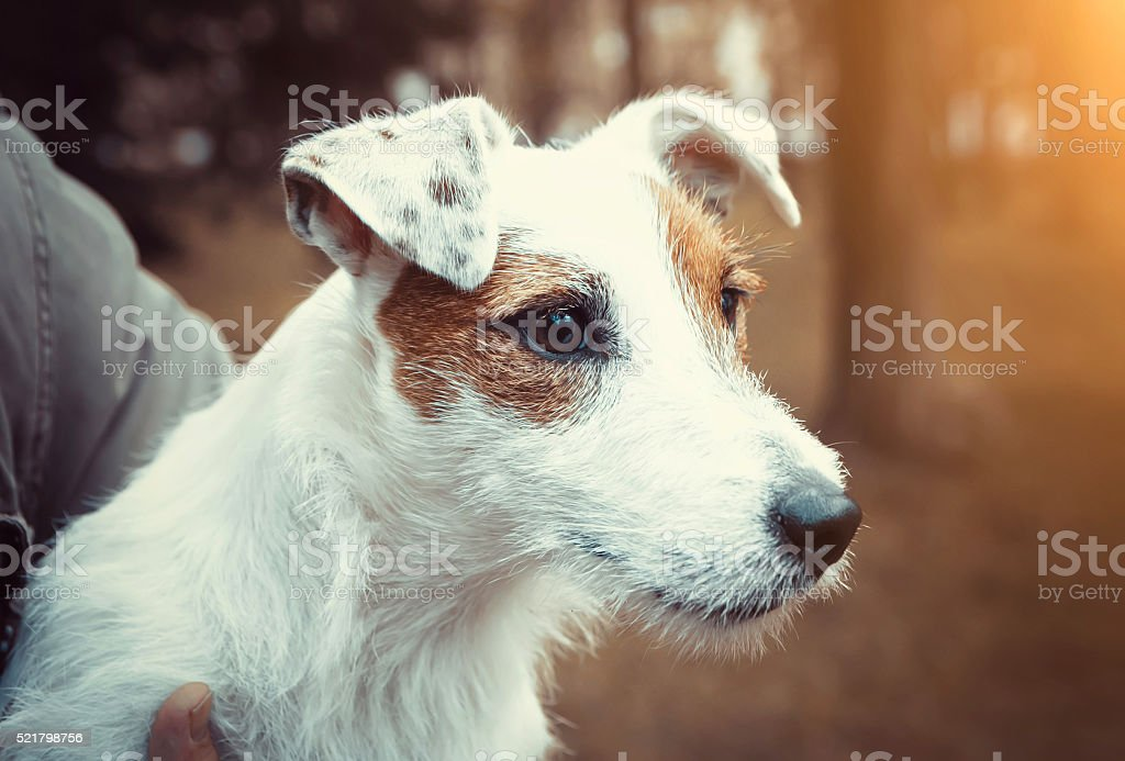 Cute puppy dog Jack Russel terrier dog stock photo