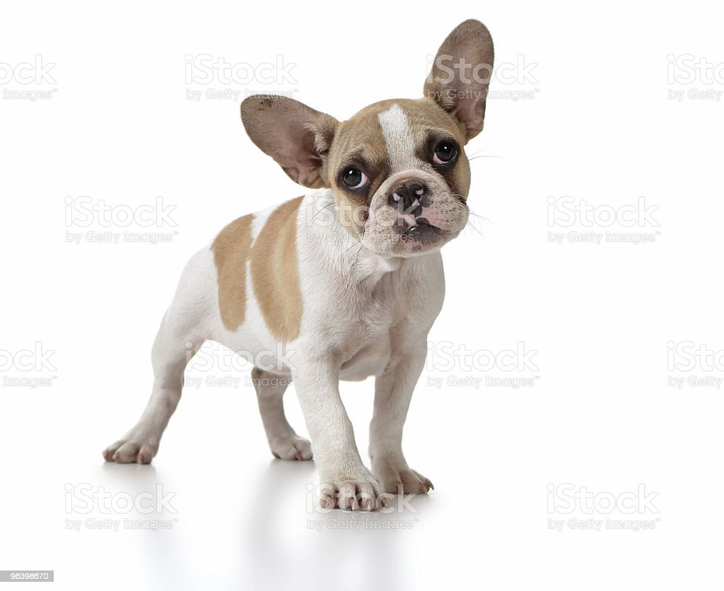 Cute Puppy Dog With Head Tilted stock photo