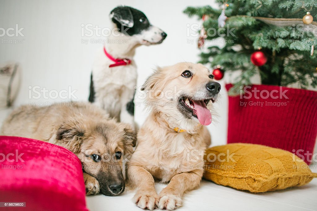 Cute puppy dogs near decorated Christmas tree in studio stock photo