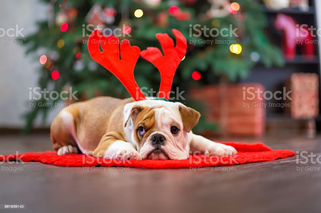 Cute puppy english bulldog with deer head cornuted on red carpet close to Christmas tree with xmas toys. stock photo