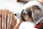 Cute puppy gnawing basket