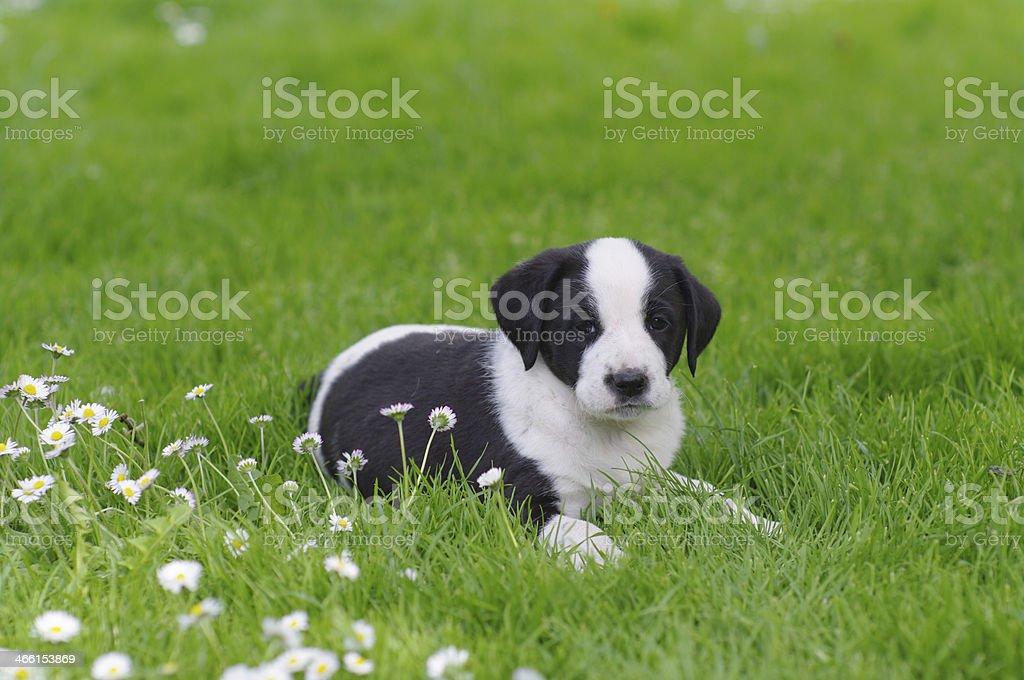 cute puppy in daisy field stock photo