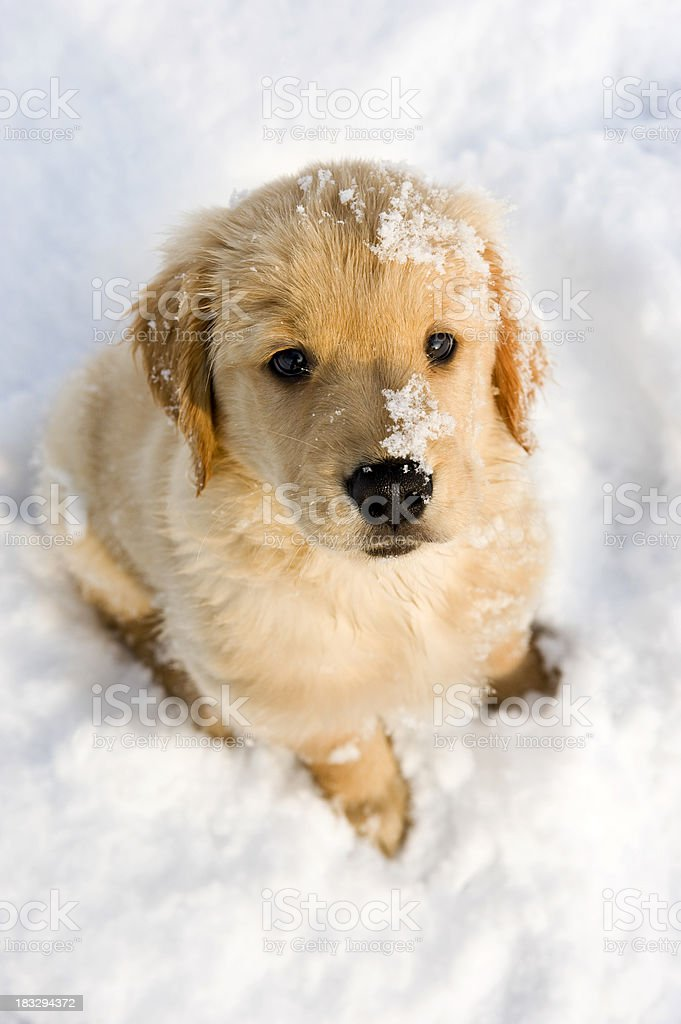 Cute Puppy in the snow, looking up at camera stock photo