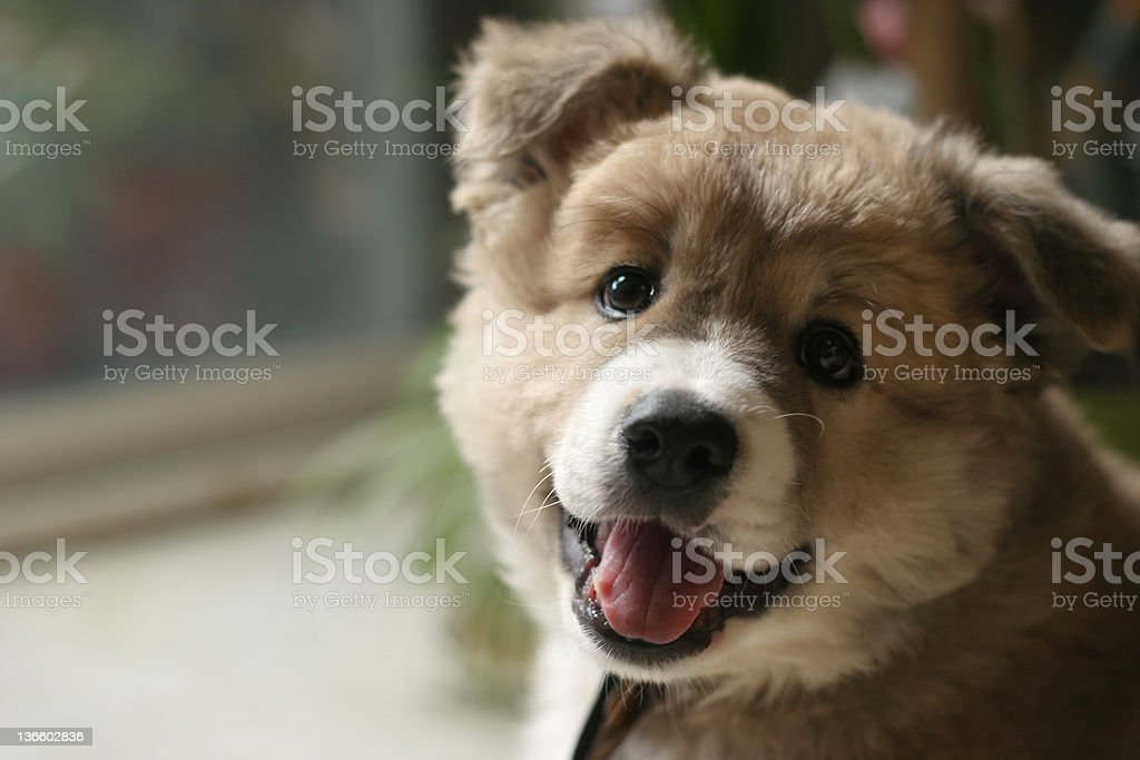 cute puppy is laughing royalty-free stock photo