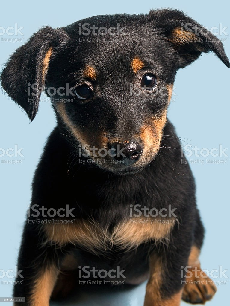 Cute puppy, isolated on light blue background stock photo