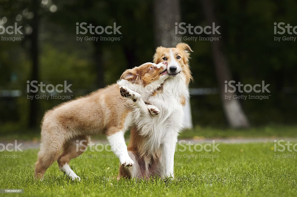 cute puppy kisses red dog royalty-free stock photo