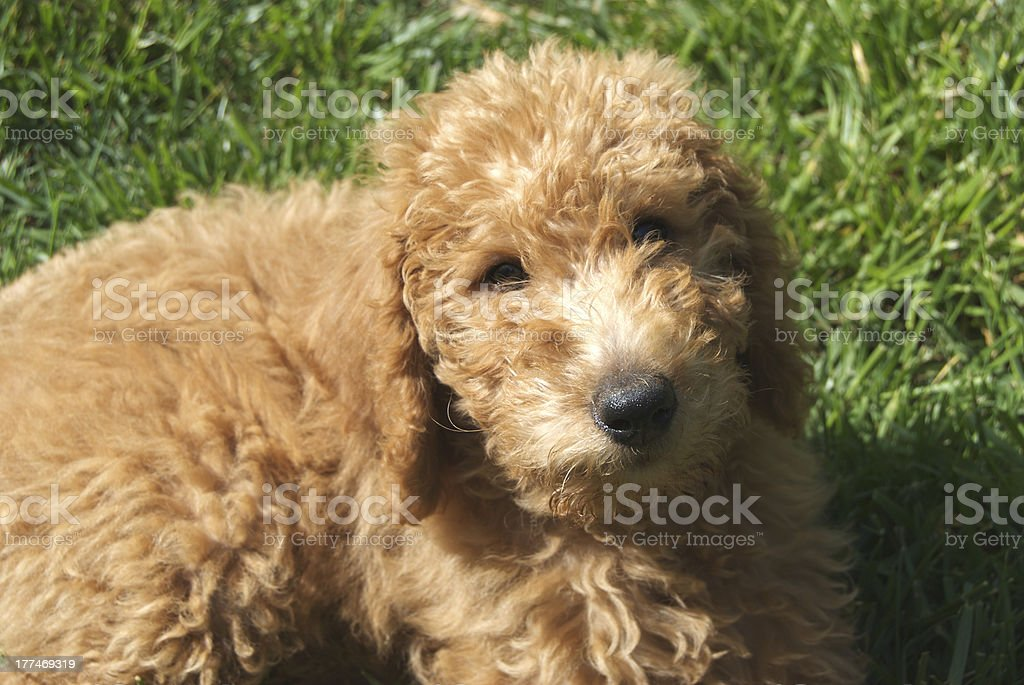 Cute Puppy - Labradoodle royalty-free stock photo